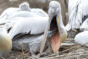 Ardhja e flamingove në Karavasta, pelikani kacurrel drejt zhdukjes nga Kristina Millona
